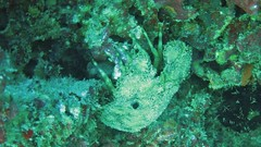 Slipper Lobster (disappearinjon) Tags: hawaii oahu scuba diving lobster honolulu slipperlobster kokocraters