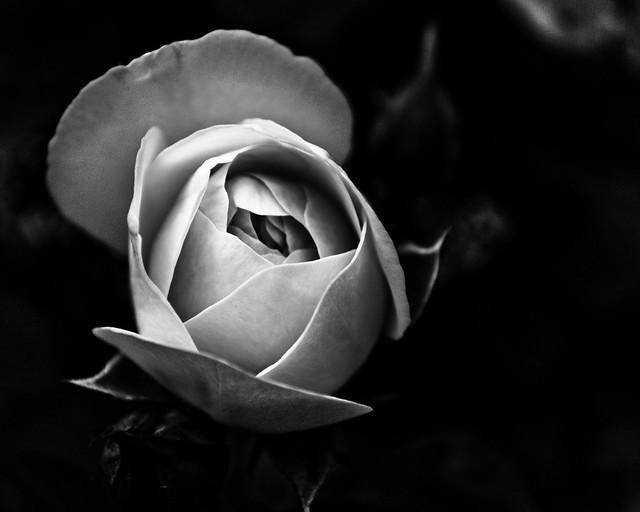 Rose Bud (B&W)