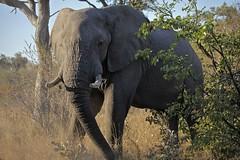Coming out to greet us (rowl images) Tags: africa elephant mammal wildlife safari botswana africanelephant letaka khwaicommunityarea letakanorthernhighlightstour