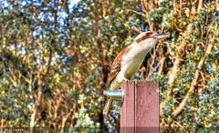 Laughing Kookaburra   Gerringong   NSW (Hadi Zaher) Tags: new bird wales laughing south australian australia kingfisher heads kookaburra carnivore wollongong shoalhaven