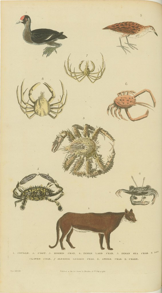 Crabs, birds, and cougar - coloured 1785 engraving