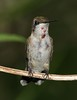 Ruby-throated Hummingbird, immature male (AllHarts) Tags: ngc naturesfinest hollyspringsms strawberryplainsauduboncenter cherryontopphotography pogchallengewinnershalloffame naturesbeautifulphotography naturescarousel rubythroatedhummingbirdimmaturemale naturespotofgoldlevel2