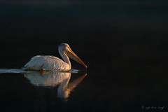 Drawn to the Light (Eric.Vogt) Tags: shadow white black reflection pelicans birds sunrise wake avian fernhill firstlight americanwhitepelican fernhillwetlands
