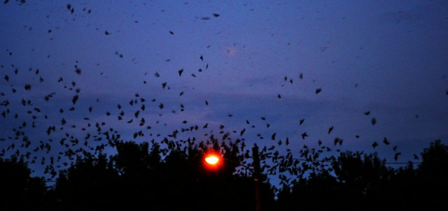 Purple Martins Roosting 2