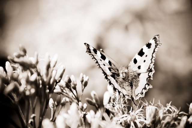 Sepia Butterfly.