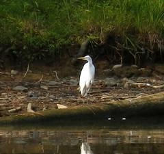egret? Photo