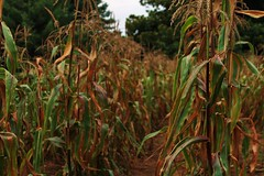 Corn row (mountain_doo2) Tags: garden corn maize