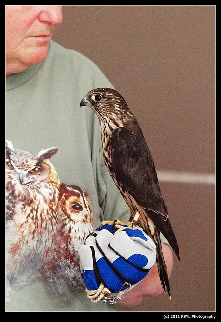 Tyra, the Merlin (Falco columbarius)
