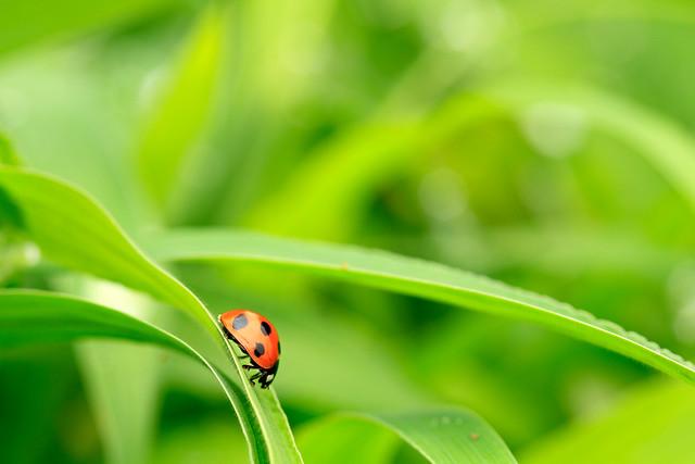 Stroll of ladybird