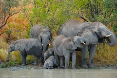 Underage drinking problem (John Kok) Tags: southafrica krugernationalpark africanelephant loxodontaafricana specanimal specanimalphotooftheday savannalodge sabisandreserve july2011 nikkor200400f4vr
