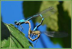 DSC_0604 (Bargais) Tags: macro nature bug insect dragonfly latvia latvija