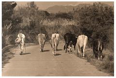 Mandriano (felicedeluca) Tags: old nature animal strada campania monte mucca animali salerno pastore mucche cilento gelbison vacca nautra vaccaro gregge vacche mandria ceraso mandriano montegelbison