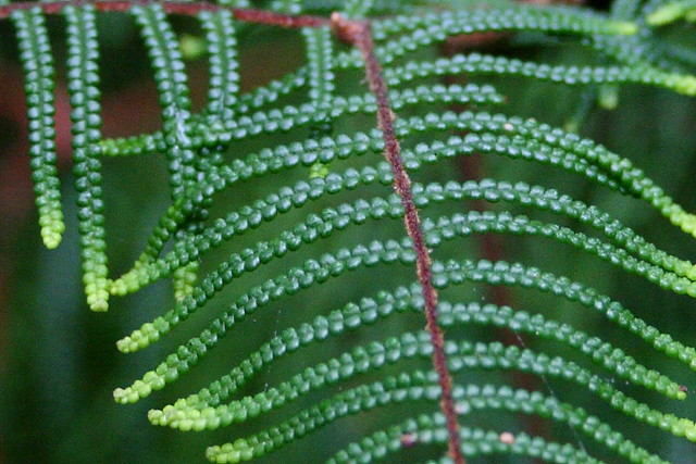 Pouched Coral Fern - Close up