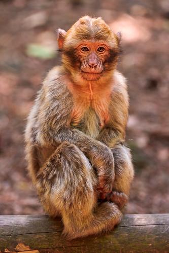 [フリー画像] 動物, 哺乳類, 猿・サル, 201108301100