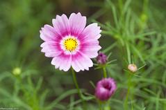 (SummerVegetables (Y.Suzuki)) Tags: flower