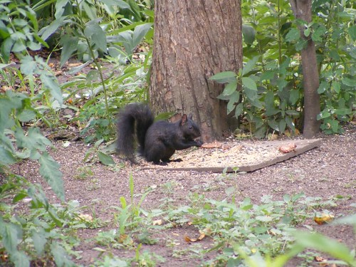 The black, gray squirrel
