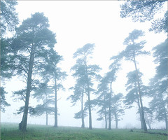Use all or part of description (mr_mem_13) Tags: street uk trees england mist pine somerset hills burnhamonsea polden