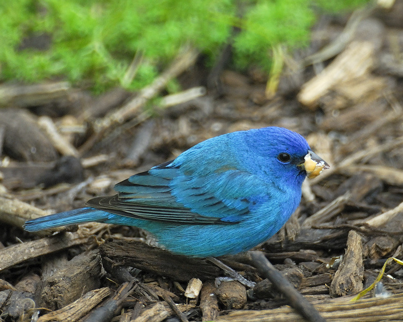 How to Identify an Indigo Bunting photo