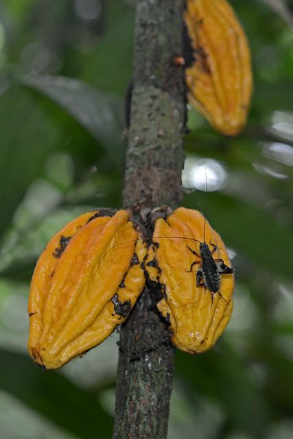 Wild cacao