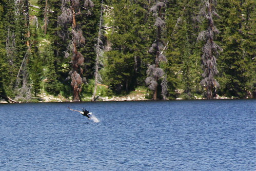bald eagle fishing Trial Lake 2011