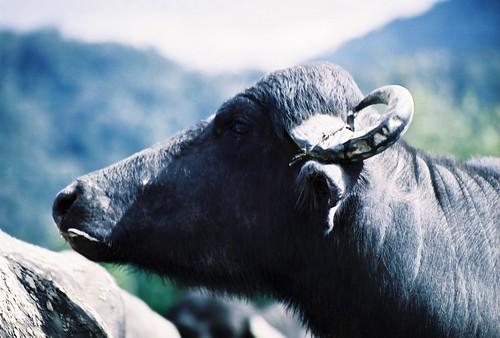 Búfalo