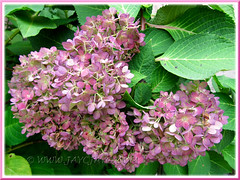 Hydrangea macrophylla 'Endless Summer', changing from blue to darker purplish-pink