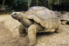 Giant Tortoise (Benjamin von Tilly Kistner) Tags: africa park travel nature animal animals canon mouth photography eos zoo photo paradise niceshot photos turtle reptile african natur indianocean tortoise afrika mauritius canoneos tier panzer reptil schildkrte paradies polfilter indischerozean polarisingfilter reservat 1750mm sigma175028 sigma1750 canoneos60d eos60d mygearandme ringexcellence 1750mmf28exdcoshsm flickrstruereflection1 flickrstruereflection2 lavanillereservat