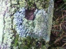 Lichen 6