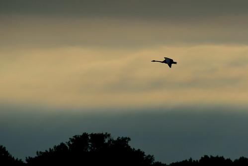 Swan Solo DSC_9288