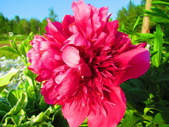 Pink (lil red5 ) Tags: pink sky ontario canada flower color green colors grass leaves bush pretty vivid peddles mothernatureatherbest
