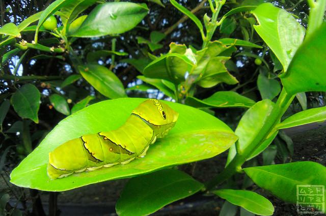 Papilio xuthus (Larva)