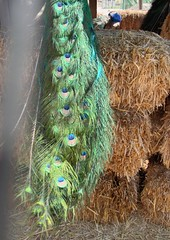 peacock feathers crop 1