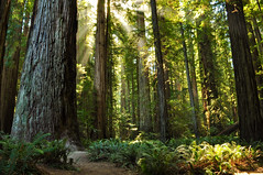 We Have Entered The Redwoods! (Treveri) Tags: california ca trees nature forest nikon september redwood sunrays stoutgrove 2011 d90 sequoiasempervirens coastredwoods jedediahsmithredwoodsstatepark