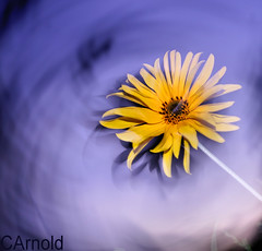 (justyourcofchi) Tags: uk light sunset blur flower colour art yellow clouds drag petals movement model flickr photographer purple bright charlotte dusk arnold move chi shutter daisy ambient farnborough dragging chiarnold justyourcupofchicom justyourcupofchi