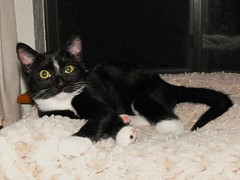 Tessa 4 mos (Callisto_Star) Tags: pet cats pets animal animals cat kitten kittens