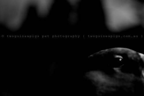 Enigma by twoguineapigs pet photography | bird photography