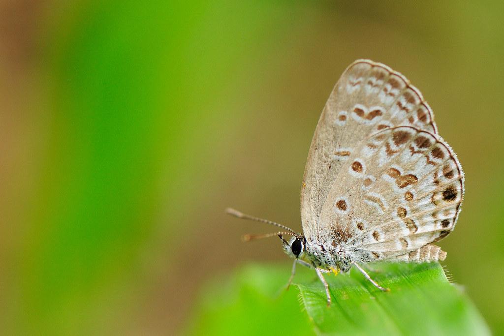 台灣小灰蝶 Zizeeria karsandra