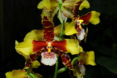 Rossioglossum Bob Hamilton (Nurelias) Tags: red white orchid flower color macro fleur beautiful yellow america photography flora rainforest pattern orchids tiger large exhibition spots orchidaceae latin tropical chestnut orquidea lip orchidee makro barred oncidiinae orchidales
