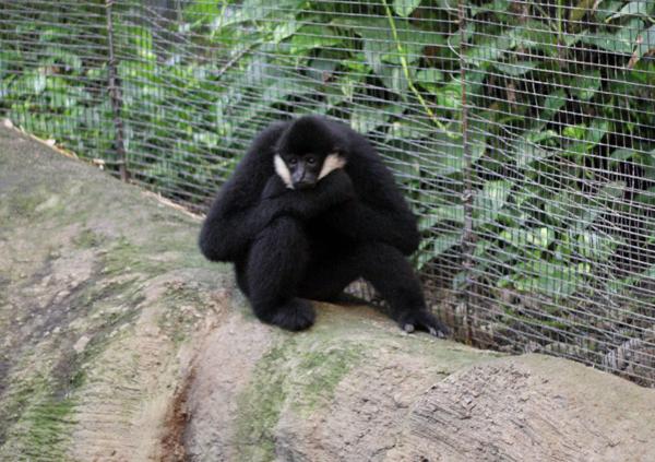 gibbon 3