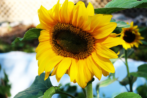 Sunflower (51)