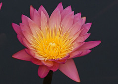 Waterlily (Ed Haas) Tags: flowers nature pennsylvania waterlilies longwoodgardens sony75300mm sonydslra200