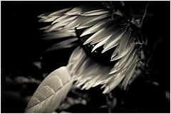 Wilted Flower Black And White bw White Black Flower ex