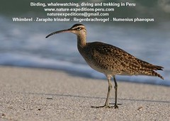Whimbrel Birding Peru (1) (Nature Expeditions 06) Tags: trip vacation bird peru nature birds port islands marine holidays tour shorelines birding stefan coastal shore wetlands beaches trips guide guano sandpipers whimbrel expeditions numenius pucusana numeniusphaeopus phaeopus scolopacidae birdguide pantanosdevilla natureexpeditions birdinginperu austermhle birdingperu sandpipersofperu shorebirdsofperu