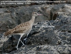 Whimbrel Birding Peru (6) (Nature Expeditions 06) Tags: trip vacation bird peru nature birds port islands marine holidays tour shorelines birding stefan coastal shore wetlands beaches trips guide guano sandpipers whimbrel expeditions numenius pucusana numeniusphaeopus phaeopus scolopacidae birdguide pantanosdevilla natureexpeditions birdinginperu austermhle birdingperu sandpipersofperu shorebirdsofperu