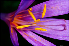 crocus (Lanfranco Brugnoli) Tags: autumn macro fall yellow purple magenta violet crocus giallo viola autunno macrolife