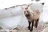 Odd Colored Fox (namra38) Tags: wild dark paradise wildlife mountrainier mtrainier redfox mtrainiernationalpark darkmorph