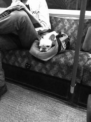 Under Dog (benleto) Tags: sleeping dog pet cute london animal bag underground little metro sweet seat tube pug pitbull tiny resting asleep bakerloo