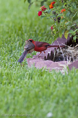 Northern Cardinals JN026589 (JaniceNolan_braud) Tags: bird yard backyard cardinal feeding matingritual northerncardinal matingbehavior