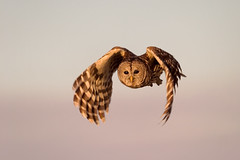 Barred Owl in Flight (Photomatt28) Tags: bird nature florida avian barredowl birdinflight strixvaria floridabirds birdphoto vierawetlands barredowlinflight