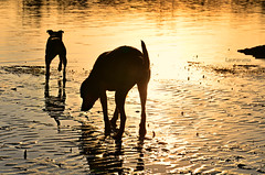 exploring at sunset (Laurarama) Tags: sunset reflection dogs nikon gap sept odc 18105mm d7000 collectionp